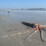 Óriási tintahalat mosott partra a víz Dél-Afrikában