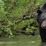 Megölte gondozóját egy terápiás állatként tartott fekete medve Japánban