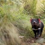 3000 év után újra erszényes ördögök születtek Ausztráliában a vadonban –videó