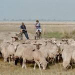 Botrány a Hortobágyon: juhok és marhák tízezrei veszélyben, de a Kehi mindent rendben talált