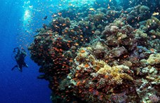 Ötszáz milliárd korall élhet a Csendes-óceánban
