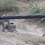 Videó: Amikor a kiselefántnak túl sok lába van