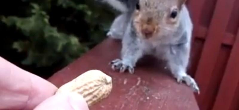 Videó: Az internet sztárja lesz a vívódó mókus