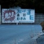 Megvalósult disztópia Fukusimánál: radioaktív vaddisznók lepték el a néptelen városokat (képek)