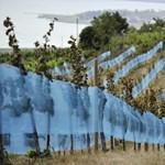 Áprilisi tél: veszélyben-e a szőlőtermés?