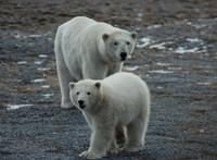 Jó hír: rengeteg jegesmedvét találtak Alaszkánál