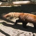 Elszökött egy vörös macskamedve a belfasti állatkertből