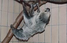 Elpusztult Paula, a világ legidősebb lajhárja