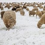 A juhászokat elűznék, birkáikat vágóhídra küldenék a fideszes államtitkár vadászai