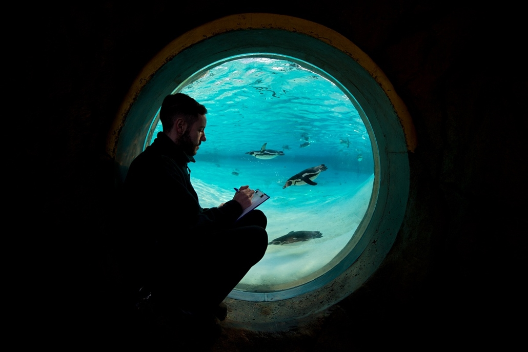 afp. London, állatkert, leltár 2014.01.02. UNITED KINGDOM, London : Humboldt penguins swim in a pool during a photocall for London Zoo's annual stocktake in central London, on January 2, 2014. The compulsory annual count is required as part of the zoo's l