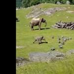 Anyjánál vigasztalódott a gyöngytyúk-hajkurászáskor elvágódó kiselefánt – videó