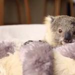 Félre a nyomasztó hírekkel, nézzen eukaliptuszlevéllel bajlódó koalabébit