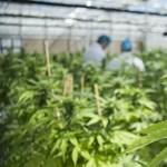 Annyit szívnak Kanadában, hogy elfogynak a marihuánakészletek