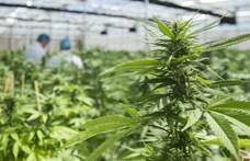 Késhegyig menő harc a marihuána 150 milliárd dolláros világpiacán