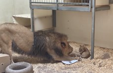 Szívmelengető a pillanat, amikor ez az oroszlánpapa először találkozik a kölykével