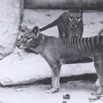 Video: 85 años después, se descubrió la grabación del último espécimen vivo del extinto tigre de Tasmania