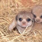 Tündéri szurikáták születtek a miami állatkertben – képek