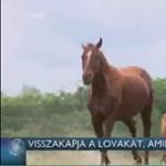 Vissza kell adni a lovakat az állatkínzónak