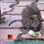 Indul a patkányirtás Budapesten