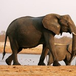 Feldühödött elefánt taposott halálra egy kínai idegenvezetőt