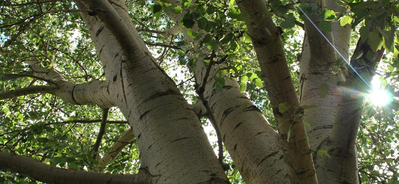 Napi cuki: az igazi Frakk fája is esélyes az Év fája címre - fotók