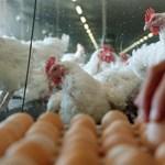 Kicsit férges a csirke, de a tojásából még finom lesz a rántotta