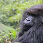 """Idén lett volna 43 éves, de vélhetően elpusztult """"a gorillacsapat kincse"""""""