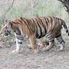Megölte gondozóját egy tigris Svájcban