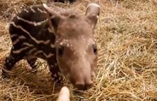 Lenne itt egy komoly feladat: segítsen elnevezni az Állatkert tapírgyerekét!