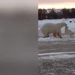 Csak egy videó egy jegesmedvéről, ami egy kutyát simogat