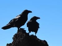 Furcsa dolgot figyeltek meg a hollóknál: ha az egyik ideges, a másik is feszült lesz