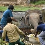 """Elhagyhatja az állatkertet a """"világ legmagányosabb elefántja"""""""