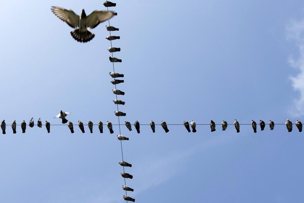 mti. hét képei - Svájci életkép,2 014.09.23. Villanyvezetékeken ülő galambok Genfben 2014. szeptember 23-án.