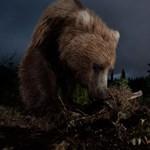 Egészséges barnamedvéket öltek meg egy dán állatkertben