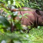 Megmenekülhet a szumátrai orrszarvú