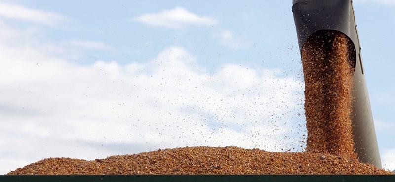 Szabolcsban 12 gazdálkodónak kell GMO-kukoricát megsemmisítenie