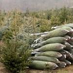 A karácsonyfa is betört az online piacra