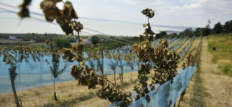 Fotók az elpusztított 30 éves badacsonyi szőlőültetvényről