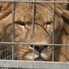 Felpörgött oroszlánok okoztak riadalmat Szegeden
