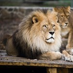 Elkapták a németországi állatkertből megszökött tigriseket és oroszlánokat