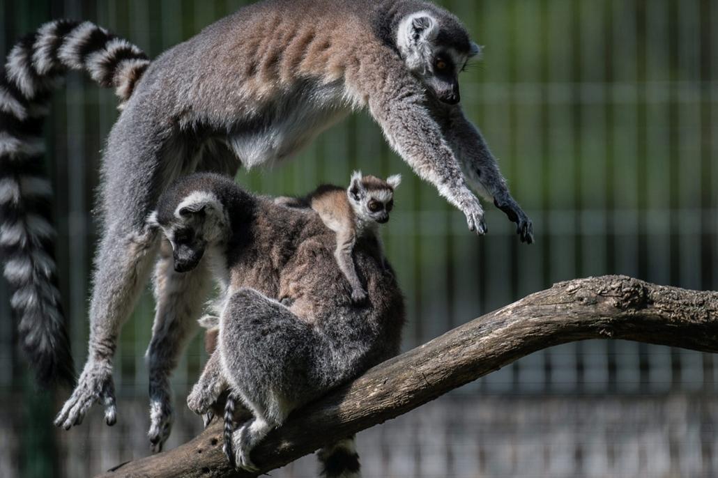 hét képei - mti.16.04.13. - A Kecskeméti Vadaspark március végén született gyűrűsfarkú maki kölykei családtagjaikkal kifutójukban 2016. április 13-án.