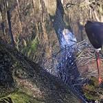 Megjelent az első tojás a gemenci fekete gólya fészkében