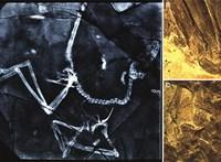 """""""Táncoló sárkány"""": tollas dinoszauruszfajt fedeztek fel Kínában"""