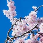 Nagyon rég nem virágoztak ilyen korán a cseresznyefák Japánban, a kutatók szerint ez rossz jel