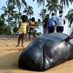 100 partra vetődött gömbölyűfejű delfint próbálnak megmenteni Srí Lankán