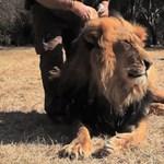 Az oroszlánok kozmetikushoz járnak, ugye? (videó)