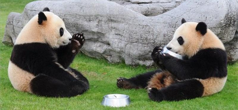 Pandadiplomácia: nagy út vár Édeskére és Napfényre