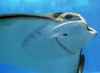 Két éve nem voltak hím közelében, mégis szaporodtak az új-zélandi akvárium nőstény rájái