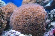 """A """"halálból"""" visszatért korallokat fedeztek fel, a kis polipok kifejlesztettek egy túlélési stratégiát"""