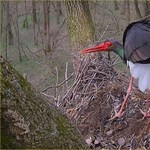 Megérkezett Gemencre Zoltán, a fekete gólya